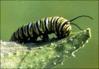 thumb_catterpillar_Monarch